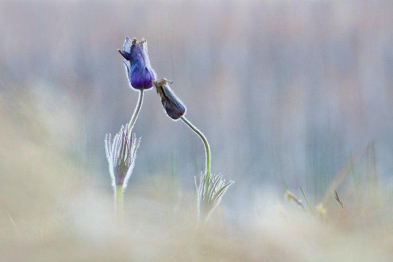 сон - трава, прострел, природа, цветы Есть чувства у цветовphoto preview