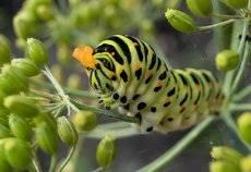 гусеница махаона - очень красивой бабочки, которая занесена в Красную Книгу Латвии.