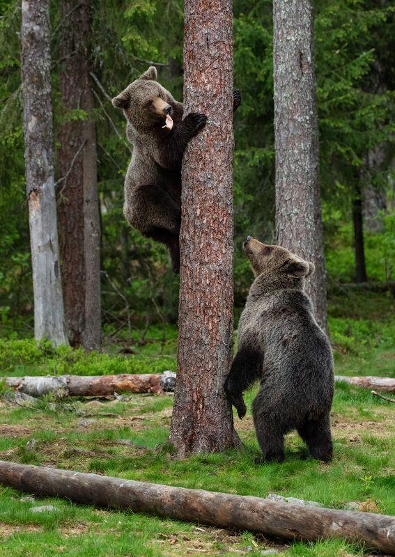 медведи, игра, молодые медведи А ну-ка, отними !photo preview