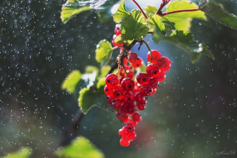 красная смородина, ягоды, лето, капли, боке Дары летаphoto preview