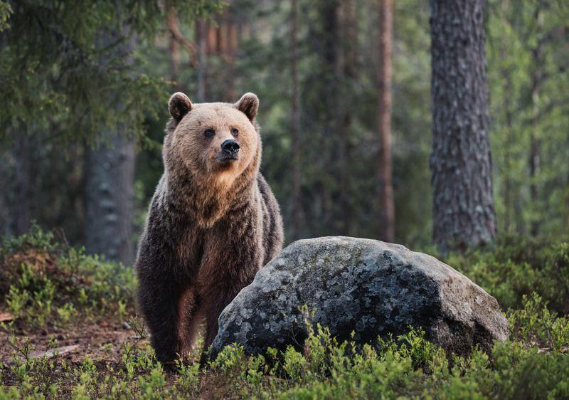 медведь, самец, бурый медведь Хозяин тайгиphoto preview