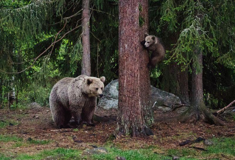 Медведица, медвежонок, семья медведей Игра в пряткиphoto preview