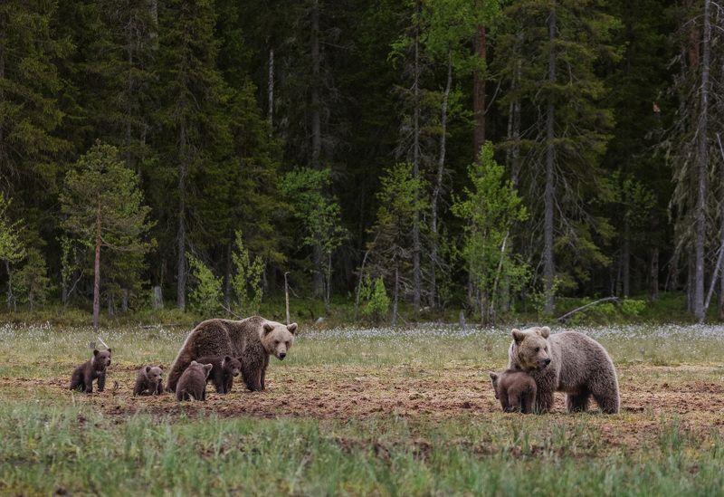 медвежье семьи , медвежата Встреча соседейphoto preview