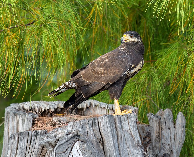 cuban black hawk, cuba, cayo largo, ястреб, куба, кайо ларго Hunterphoto preview