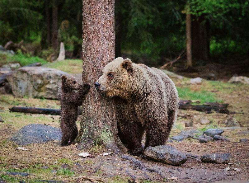 медведица, медвежонок Я уже большойphoto preview