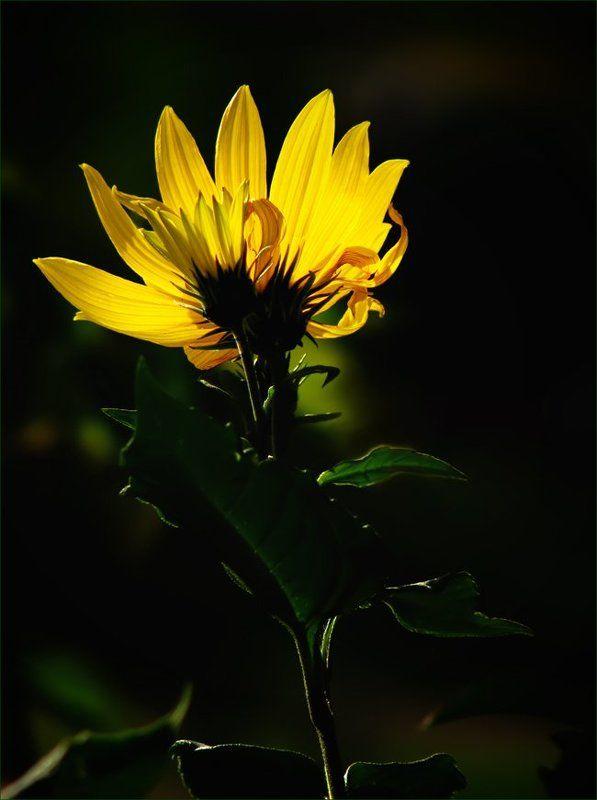 растение, топинамбур, цветы, флора Топинамбурphoto preview