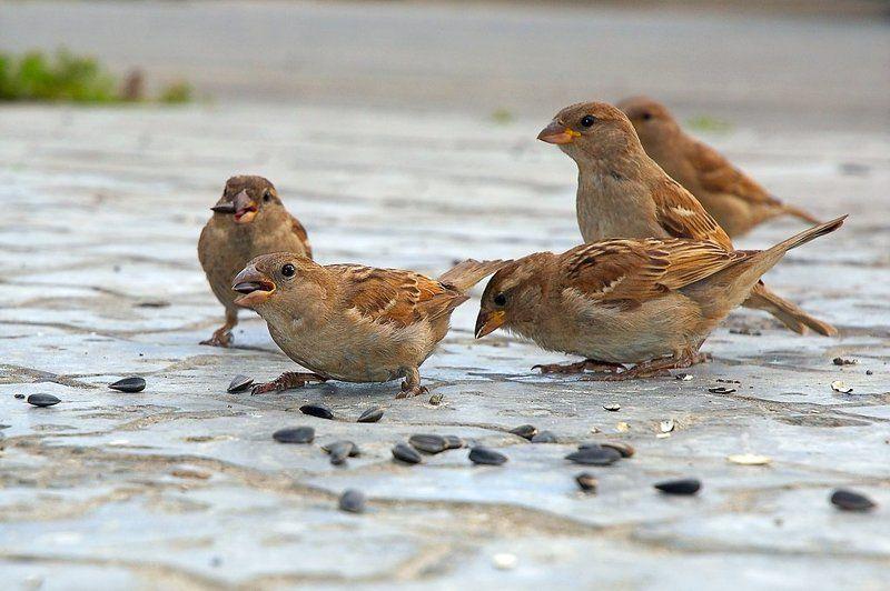 воробей Воробей - мелкая или средняя по величине птица плотного сложения с мощным, конусовидным клювом, приспособленным для шелушения и дробления семян...    Википедияphoto preview