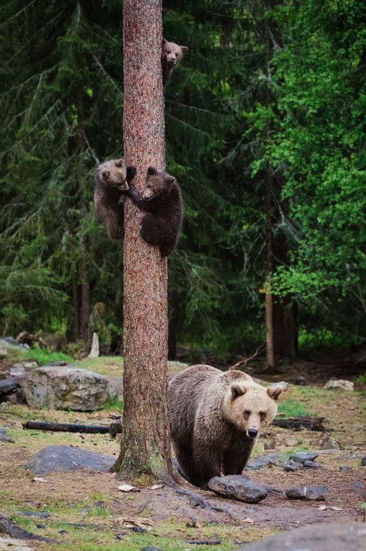 медвежата, медведица Кто не спрятался, я не виноватаphoto preview