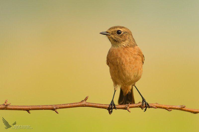 birds, nature, animals, wildlife, colors, summer, nikkor, nikon, lens, lubuskie, poland Kląskawka, Stonechat (Saxicola rubicola) ... 2017rphoto preview