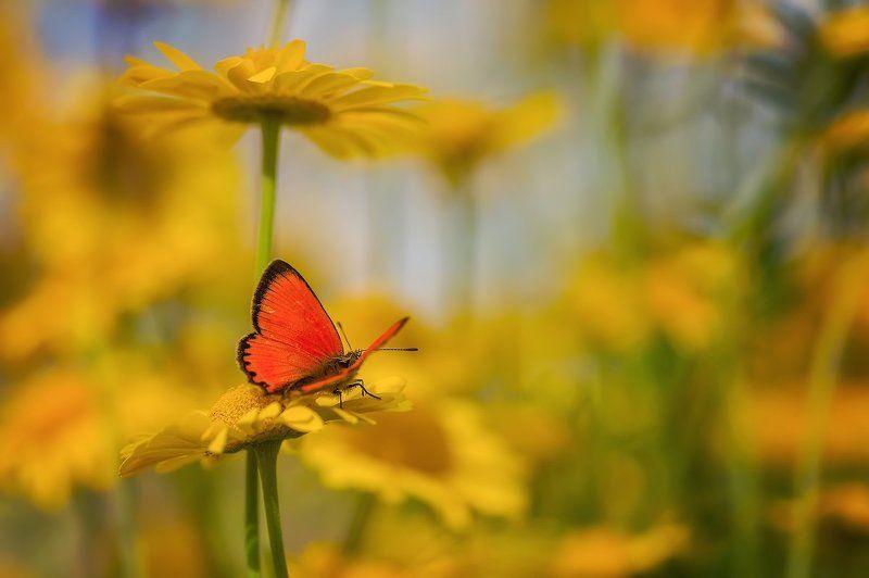 мотылек хризантемы желтый цветы бабочка лето огонекphoto preview