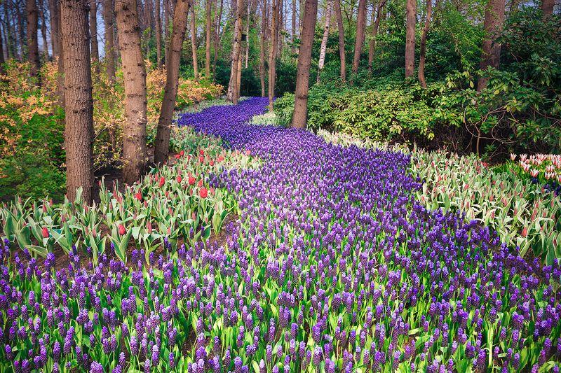 гиацинты, цветы, цветение, парк, голландия *Гиацинтовая река*photo preview