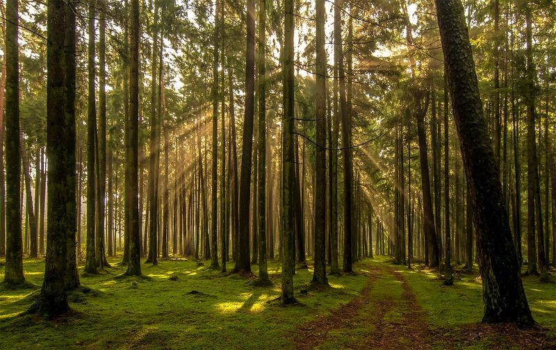 forest,pine,sunlight,rays Forest silencephoto preview