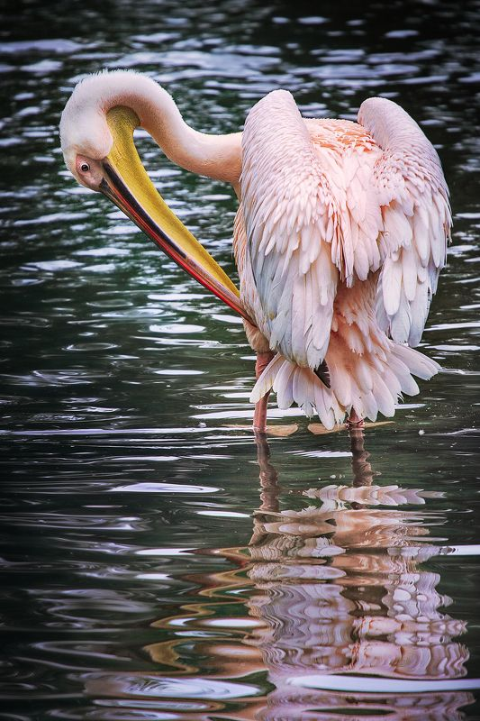 пеликан,отражение, зеркало, *Свет мой зеркальце скажи...*photo preview