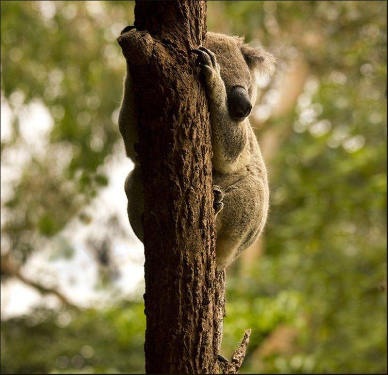 животные, природа, animal, путешествие, австралия, wildlife, nature Как хочу - так и сплю!photo preview