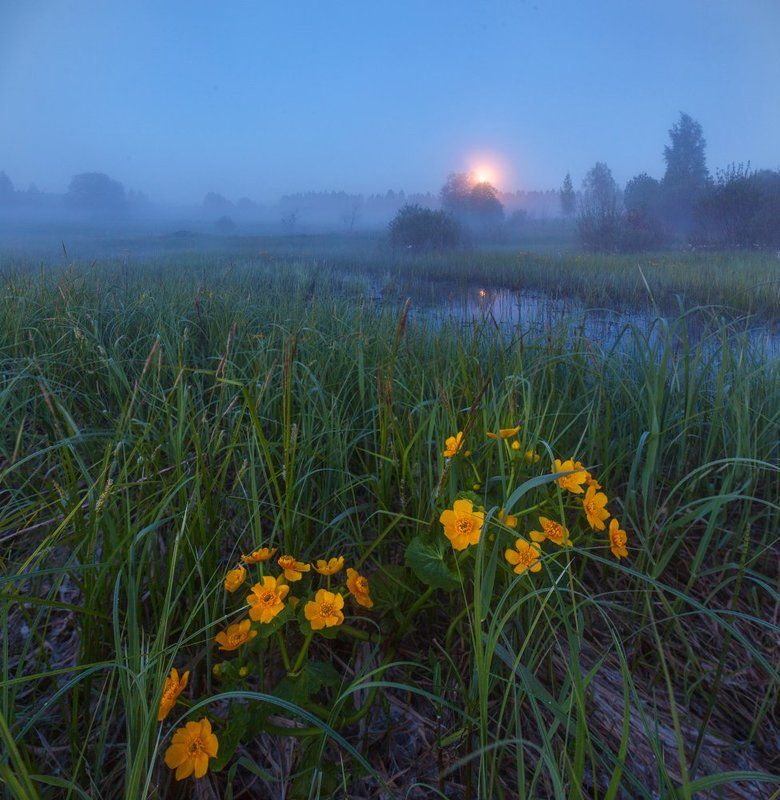 ленинградская область, ленобласть, болото, калужница, цветы, луна, ночь, лето \
