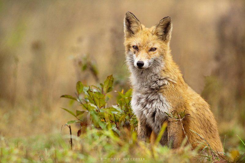 fox, fuchs, red fox, wildlife, shelter, hide, poland, fields, autumn, eye, lucky Eye to eyephoto preview
