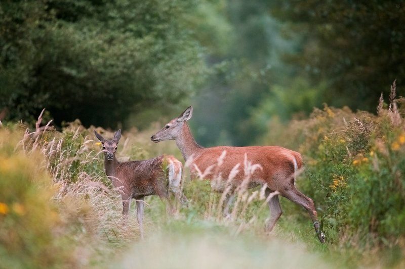 roe deer, deer, red deer, wildlife Ladiesphoto preview