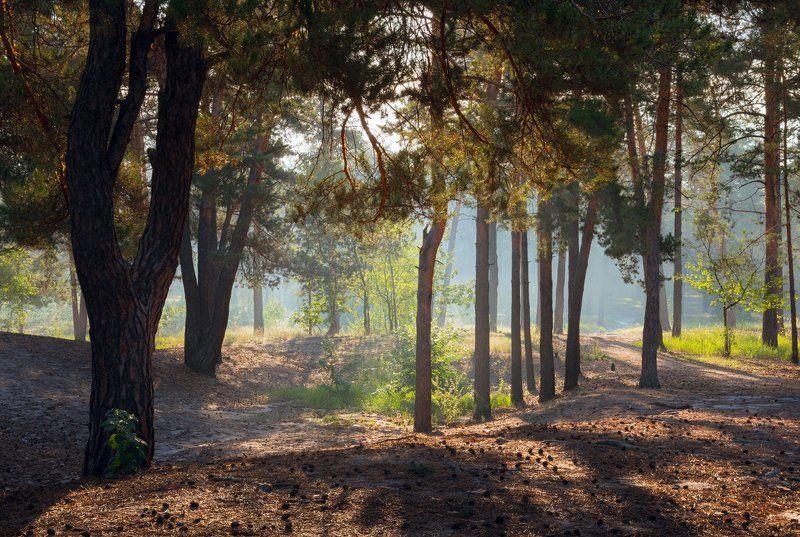 лес, утро, рассвет, туман, осень, сентябрь Прозрачной дымкой лес окутанphoto preview