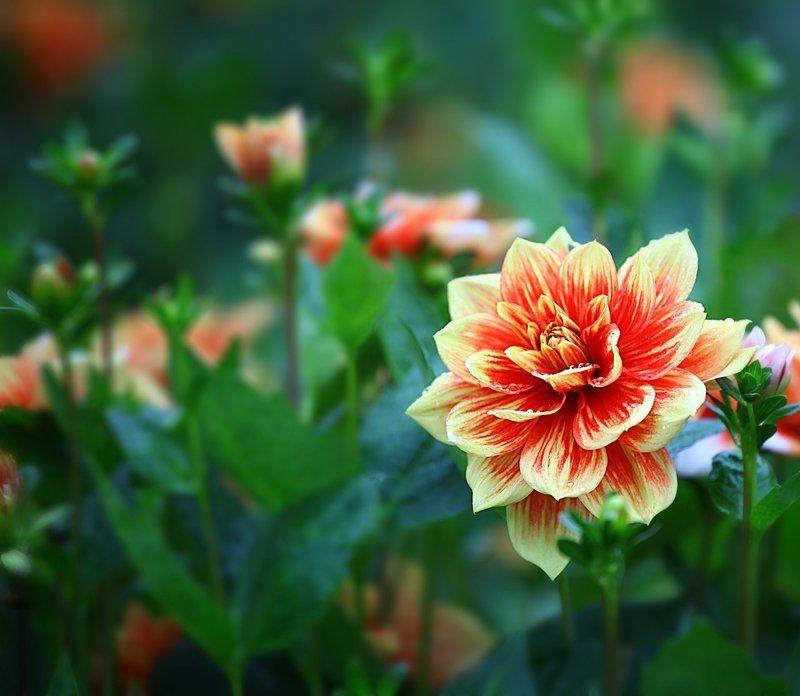 георгины, георгин, цветы, flowers, осень, autumn Dahliasphoto preview