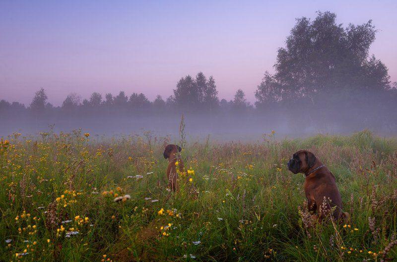 луг, лето, рассвет, туман, собаки, боксёр В ожидании рассветаphoto preview