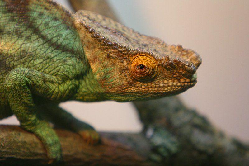 Chameleon. Portrait.photo preview