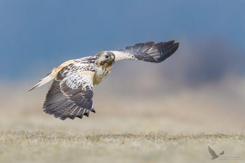 birds, nature, animals, wildlife, colors, meadow, flight, nikon, nikkor, lens, lubuskie, poland Myszołów, Common Buzzard (Buteo buteo) ... 2017rphoto preview