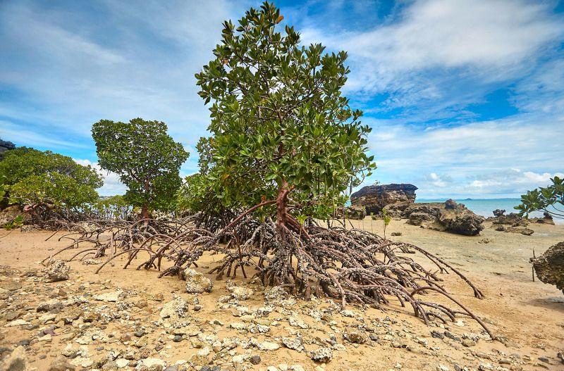 Ходячие деревья Мадагаскара! Мангровая роща после отлива. Остров Нуси-Бе.photo preview