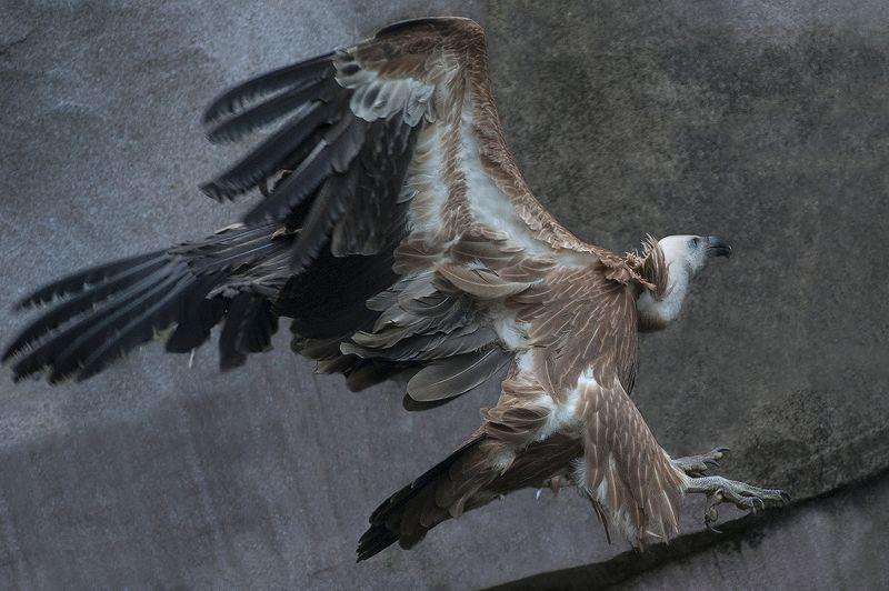 Griffon vulturephoto preview