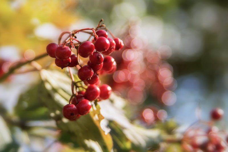 осень, рябина, кисть, красная Осени красаphoto preview