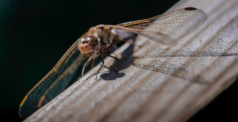 природа, макро, насекомое, стрекоза \