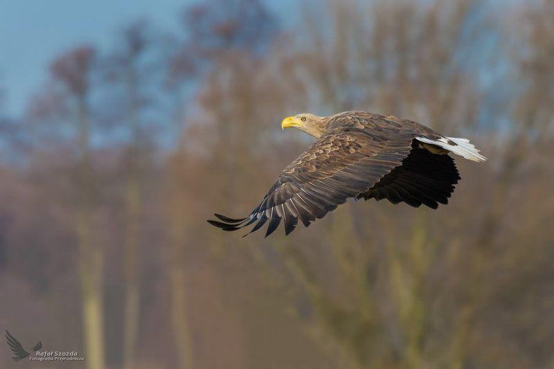 eagle, birds, nature, animals, wildlife, colors, flight, meadow, nikon, nikkor, lubuskie, lens, poland Bielik, White-tailed Eagle (Haliaeetus albicilla) ...photo preview