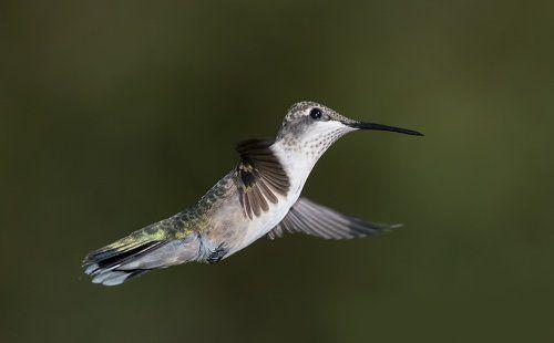 Колибри - Hummingbird flight
