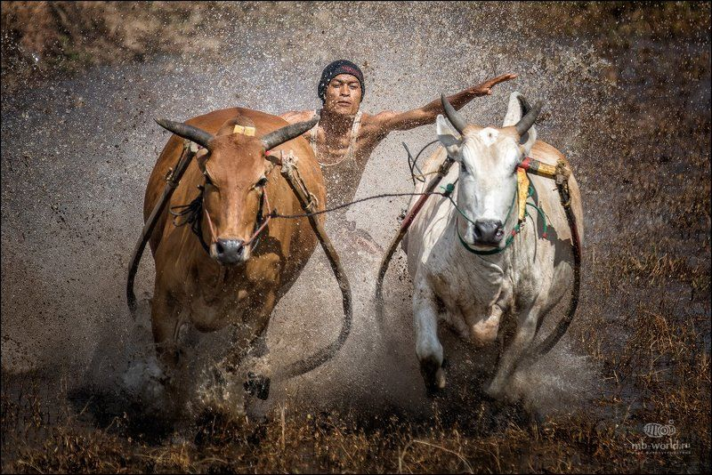 Индонезия, Суматра, путешествия, фототур Гонки на быкахphoto preview