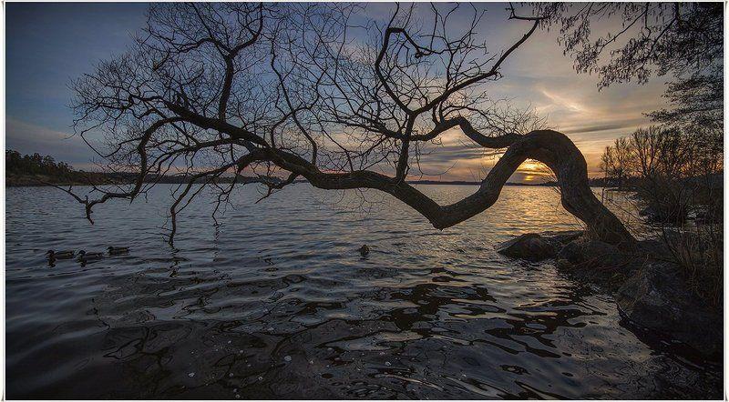 швеция Любимое дерево 2photo preview