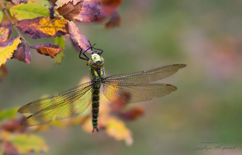 осень, стрекоза, природа, осенний сонphoto preview