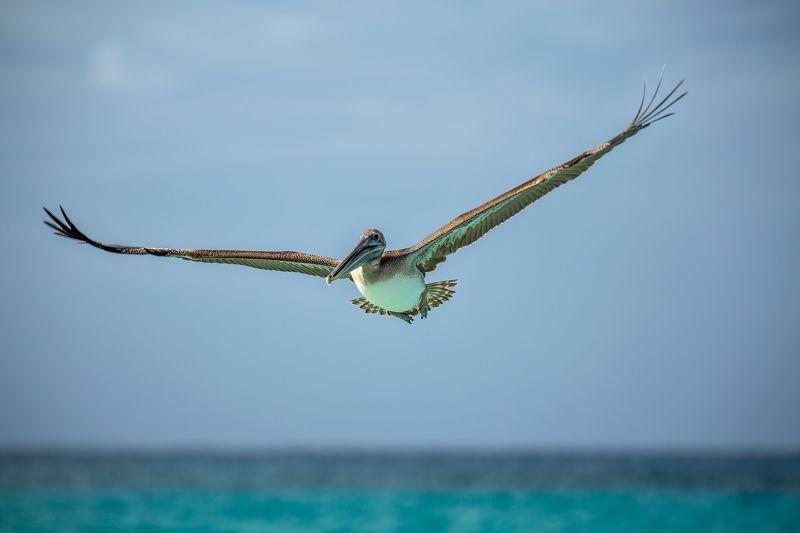 pelican, ocen, cuba, пеликан, океан, куба Wingspanphoto preview