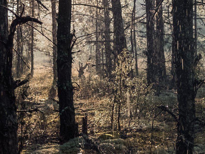 сосны, лето, дождь, солнце, мещёра, рязанская область Pro летний дождь в сосновом лесуphoto preview
