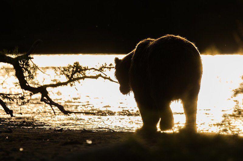 Камчатка, лето, природа, путешествие, медведь, рыба, закат  Уходящий в закатphoto preview