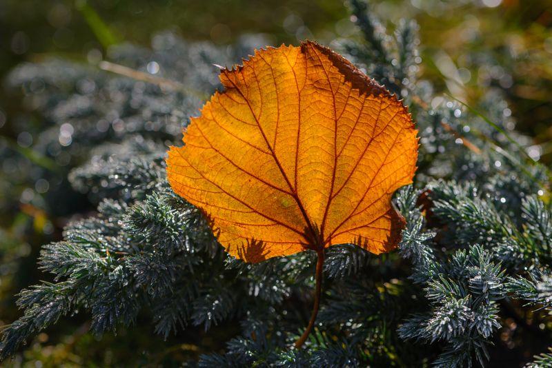 природа, макро, осень, опавший лист, можжевельник, иней, контровый свет Бубен шаманаphoto preview