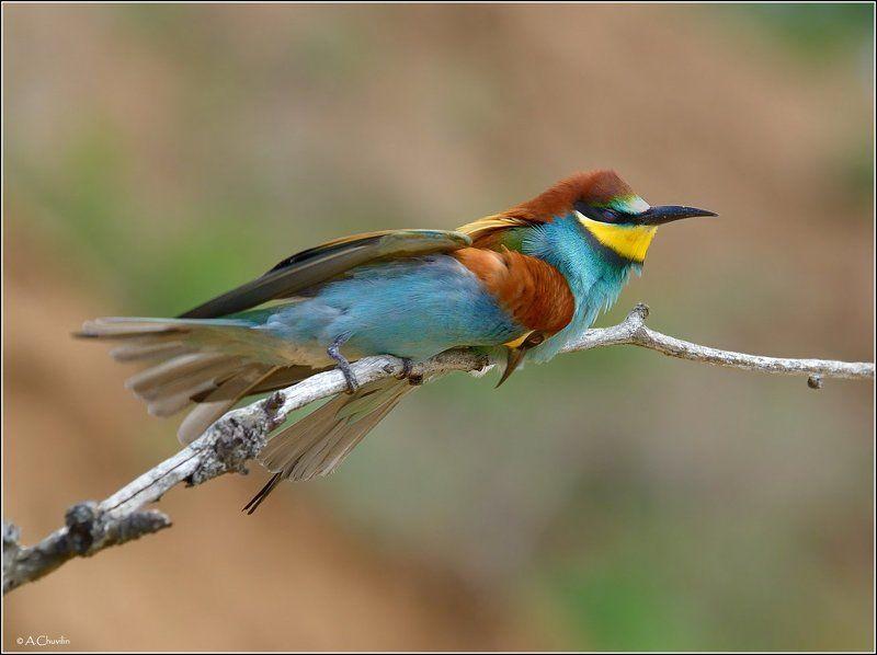 птицы,пара,щурки,счастье Жмурясь от счастьяphoto preview