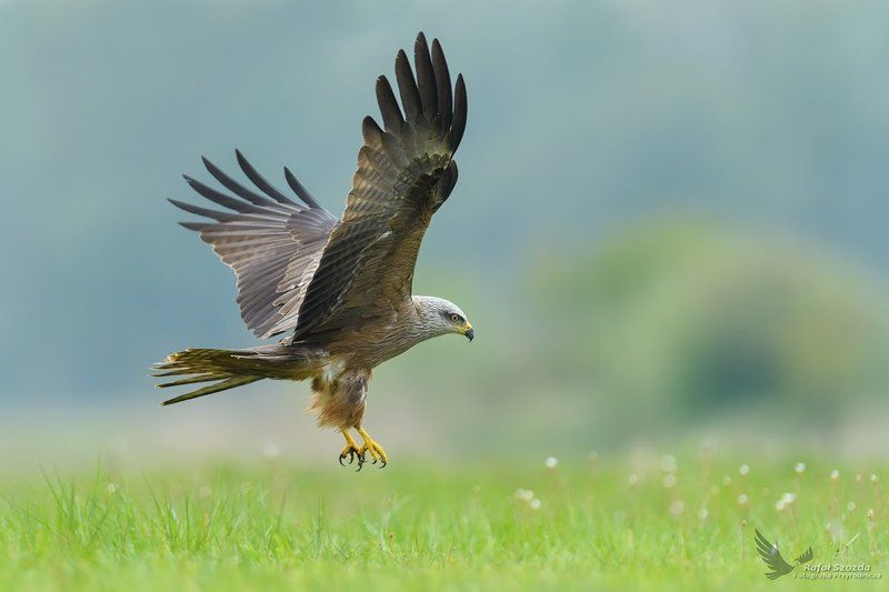 black kite, birds, nature, animals, wildlife, colors, meadow, nikon, nikkor, lens, lubuskie, poland, flight Kania Czarna, Black Kite (Milvus migrans) ... 2017rphoto preview