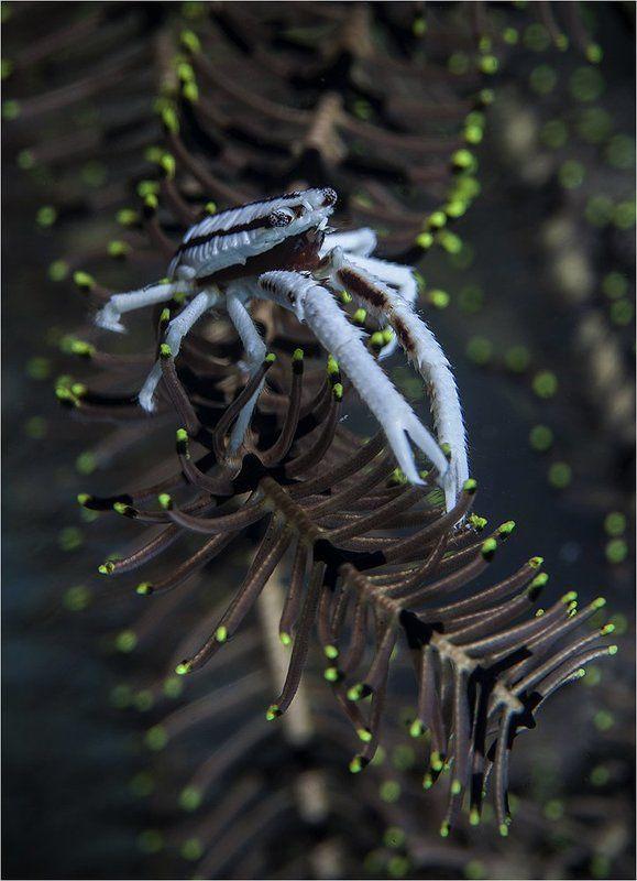 филиппины, о. пескадор, сrinoшd squat lobster утренний релаксphoto preview