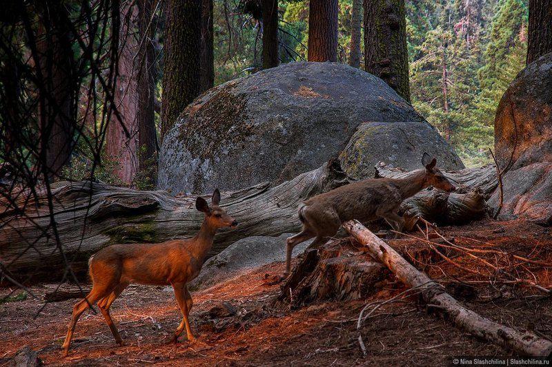 секвойя, олени, животные, америка, usa, travel, ruexpedition, путешествие, национальные парки, утро Среди гигантских секвойphoto preview