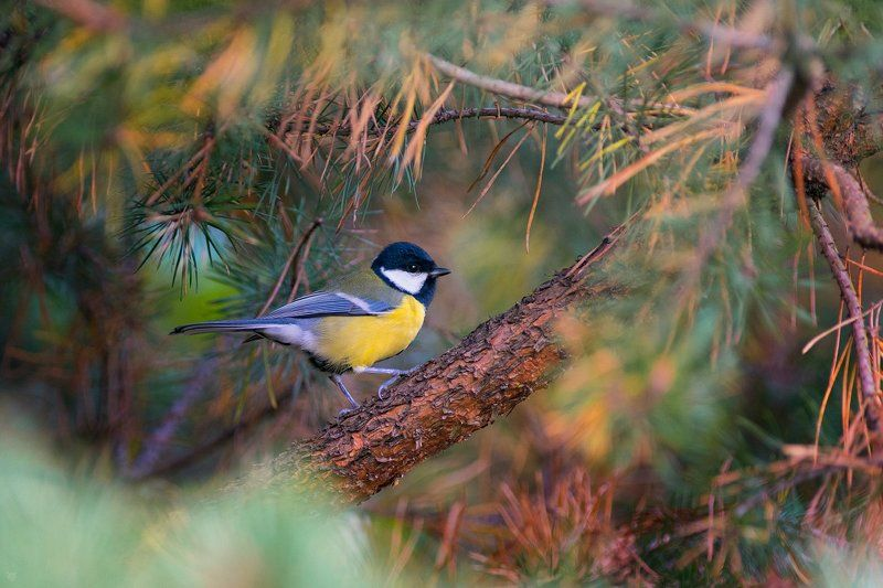 Great tit, bird, wildlife Great titphoto preview