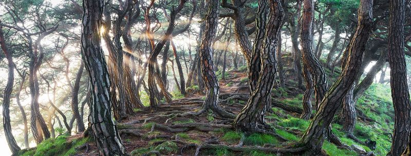 mystical,  tree trunk, woodland, pano, fairytale Sacred Pine Treesphoto preview
