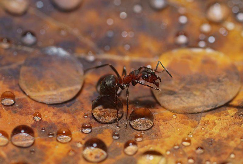 печора,коми,север,муравей,капли,дождь На водопоеphoto preview