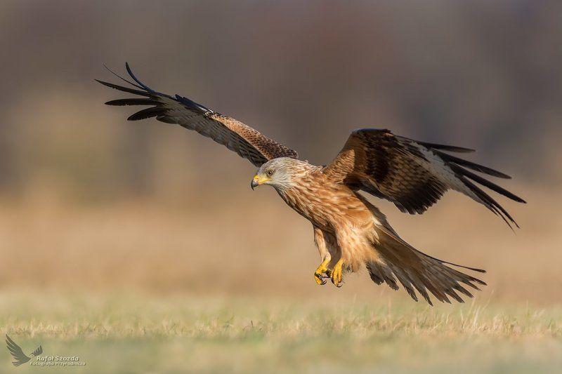 red kite, birds, nature, animals, wildlife, colors, flight, meadow, nikon, nikkor, lens, lubuskie, poland Kania Ruda, Red Kite (Milvus milvus) ... 2017rphoto preview
