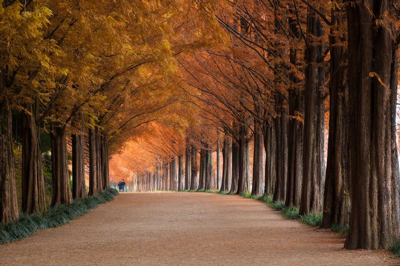 fall,  tunnel,  foliage,  metasequoia, autumn, path Once in a Fallphoto preview