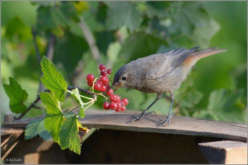 птица,чернушка,горихвостка,красная,смородина Ягодки )photo preview