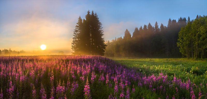 фототур, лето, иван-чай, цветы, ленинградская область, деревья, лес, берёзы, рассвет, ель, туман, солнце, луг Мечта художника, или цветущие луга иван-чая.photo preview